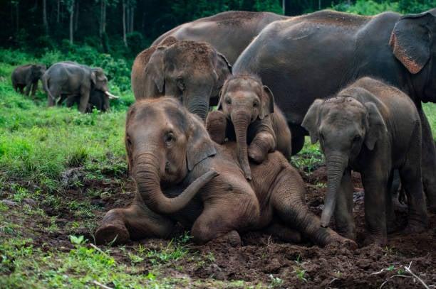 Les éléphants commençaient leur migration